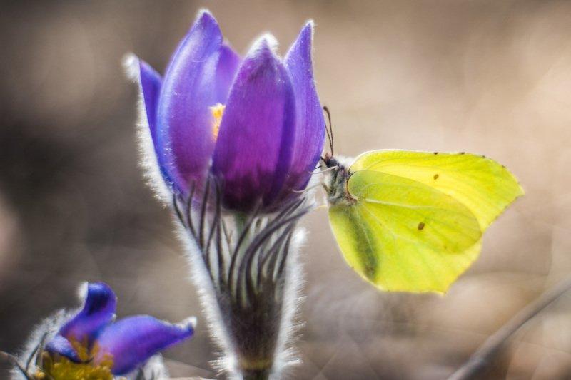 весна, сон-трава, цветы, боке Сон-трава проснулась...photo preview