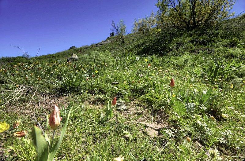 Тюльпаны. Высокогорное плато Руидашт.(2200-2500м.). Ходжи Оби Гарм. Варзоб.Таджикистанphoto preview