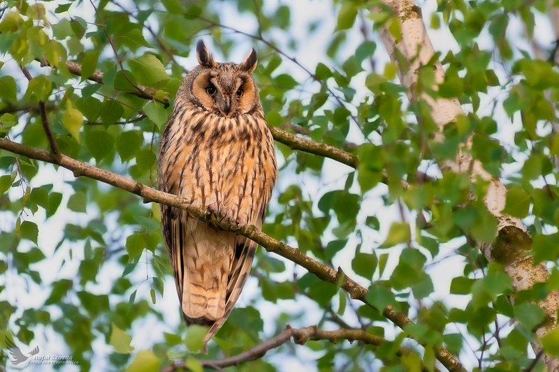owl, birds, nature, animals, wildlife, colors, spring, nikon, nikkor, lens, lubuskie, poland Uszatka, Long-eared Owl (Asio otus) ... 2019rphoto preview