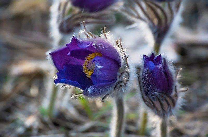 прострелы, сон-трава, цвететение, цветы, весна, лес, мещёра, рязанская область Pro любовь ...photo preview