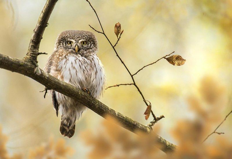 pygmy, owl, bird, birds, animals, animal, fauna, wildlife, autumn, fall, Pygmy owlphoto preview