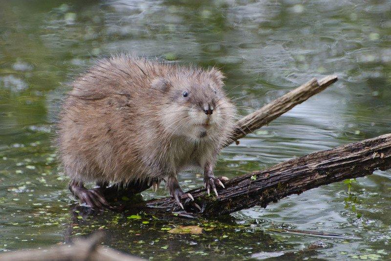 ондатра Первая крысатуля на болотеphoto preview