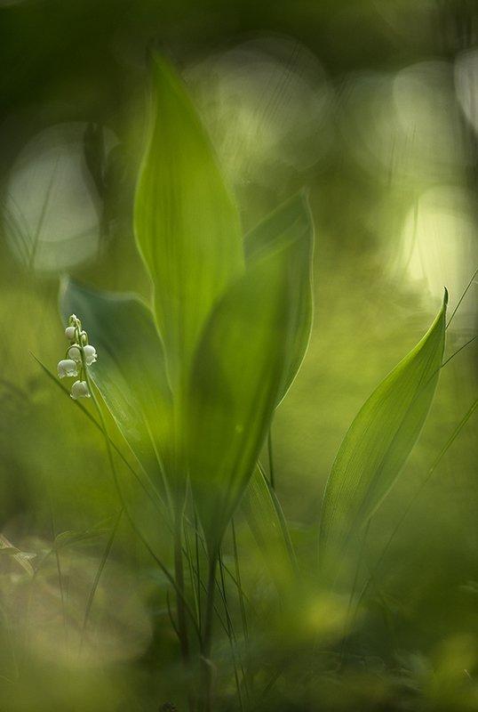 ландыш, цветок, май, весна, свет, цвет, воронеж, геннадий мещеряков, Привет май!photo preview