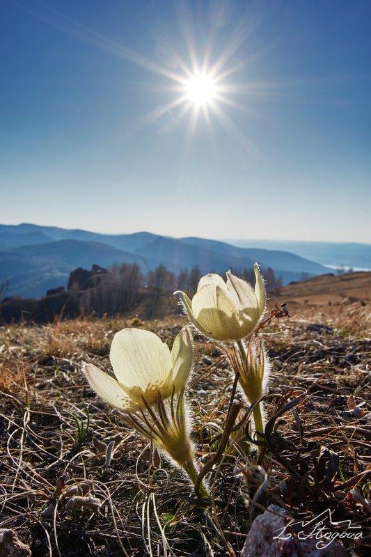 подснежники, торгашинский хребет Первые цветыphoto preview