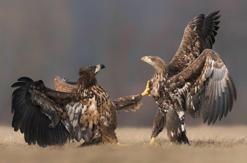 eagle, eagles, animals, animal, wildlife, nature, fauna, fight, birds, bird, Heart strikephoto preview