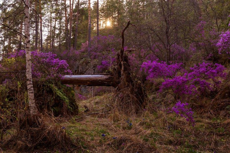 Цветение маральникаphoto preview