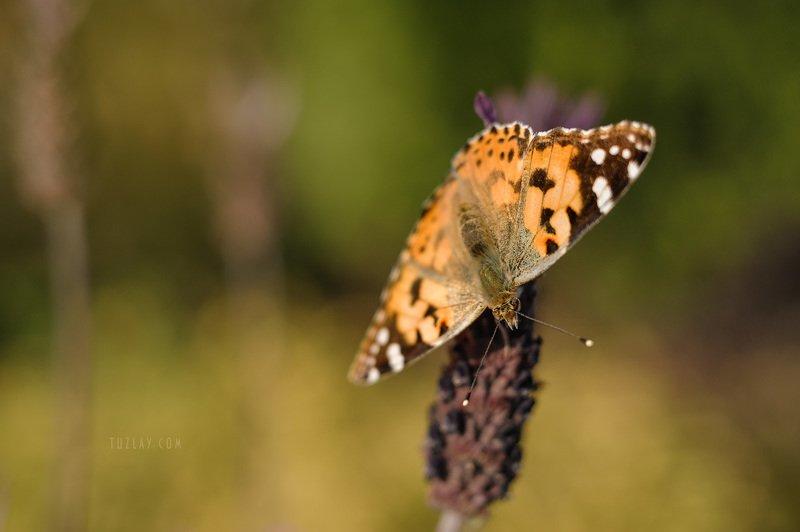 бабочки, макро, репейница Еще про бабочек) #2photo preview
