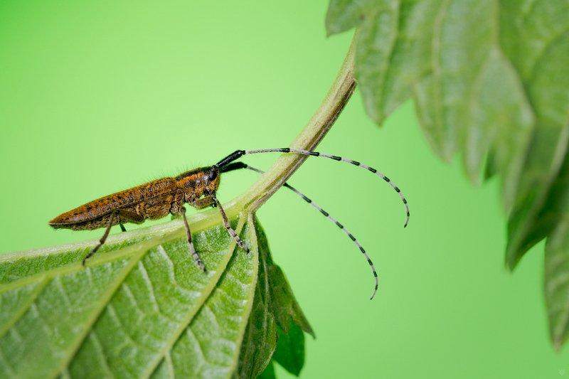 Agapanthia villosoviridescens, bus, insect, macro Agapanthia villosoviridescensphoto preview