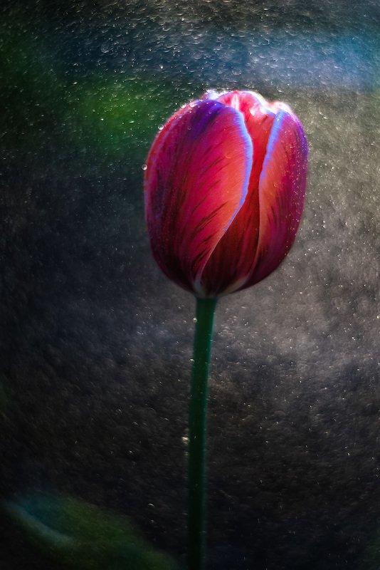 цветы, тюльпан, весна, primoplan58, макро, боке, флора Цветочек аленький.photo preview