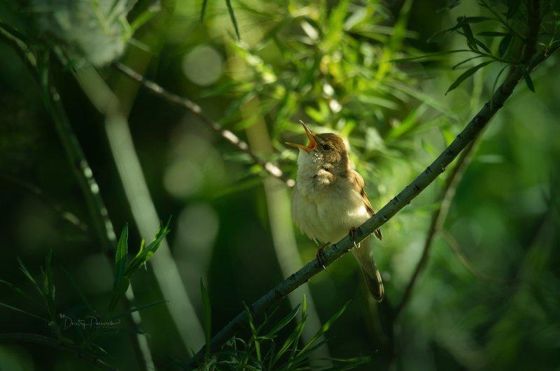 природа, лес, животные, птицы Пионерская зорька ..., галстука не хватает :) фото превью