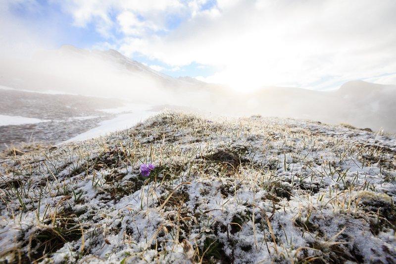 Первоцветы альпийских луговphoto preview