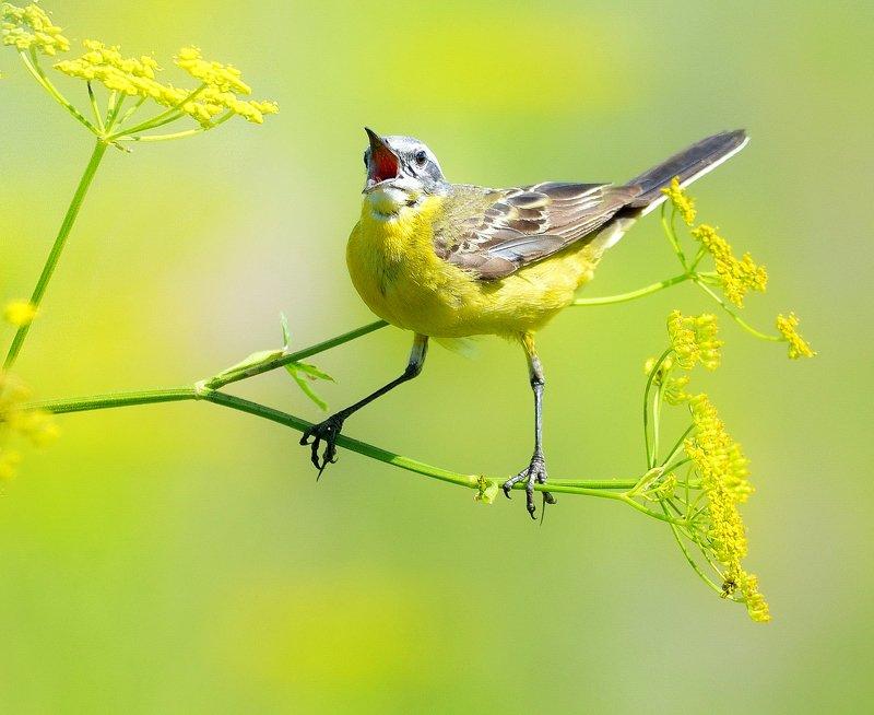 природа, фотоохота, желтая трясогузка, птицы, животные,цветы, лето Полевые песниphoto preview