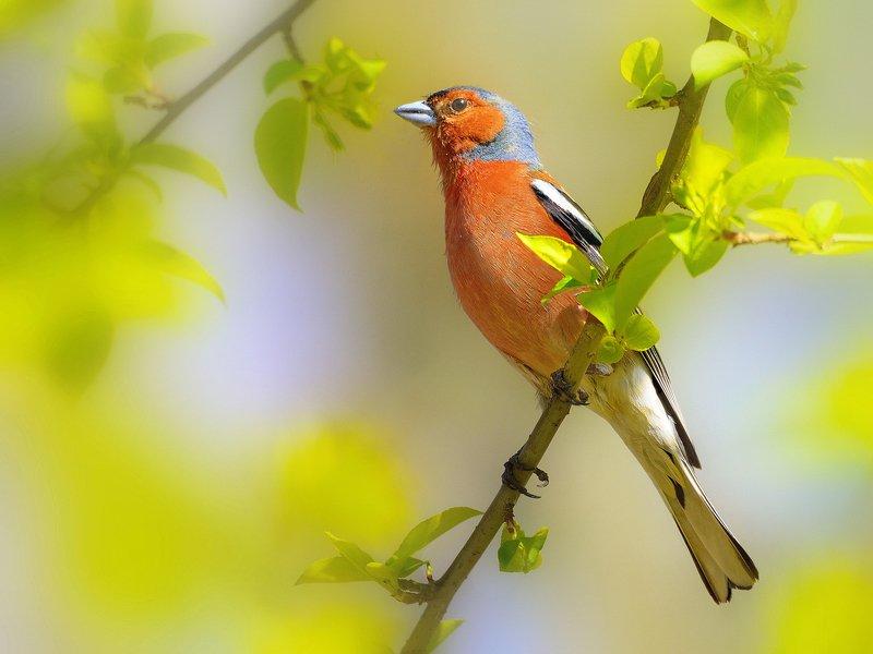 природа, фотоохота, зяблик, птицы, животные,весна,лес В весеннем лесуphoto preview