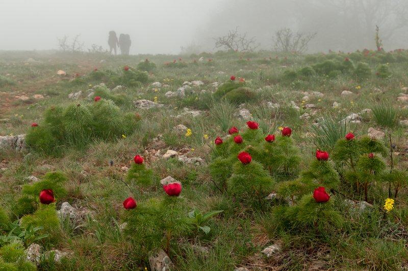 крым весна туман пионы Пионы горного Крымаphoto preview