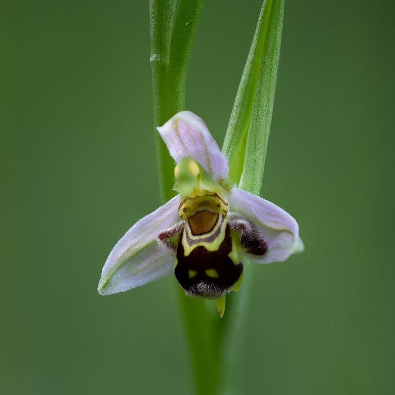 Офрис пчелоносныйphoto preview