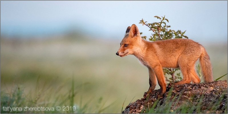 my-mriya, fox Лисятаphoto preview
