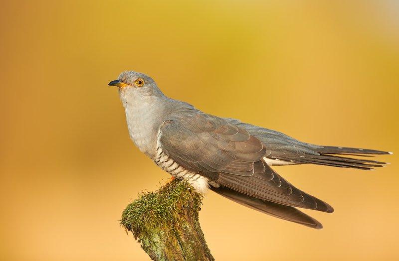 birds, wildlife, animals, cuckoo, bird, animal, Cuckoophoto preview