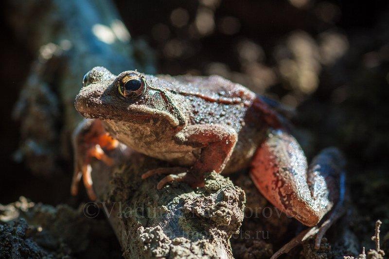 amphibia, krasnodar territory northwestern caucasus rana macrocnemis caucasus frog, brusa frog, frog long-legged wood frog Малоазиатская лягушка (Rana macrocnemis)photo preview