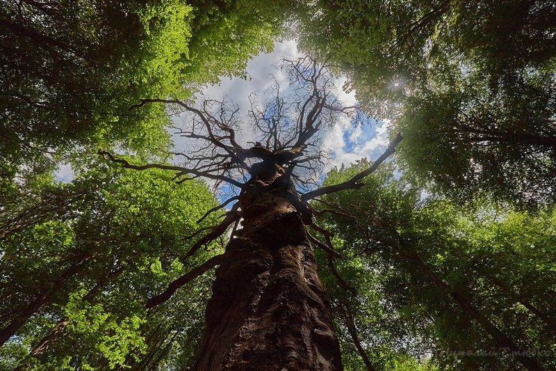 лес дерево Исполинphoto preview