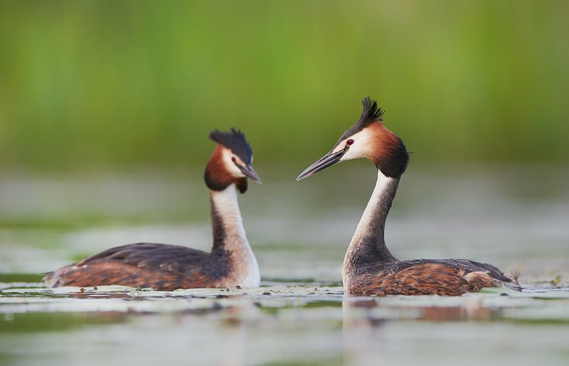 birds, animals, animal, bird, wildlife, brege, crested, great, water, nature, Great crested grebephoto preview
