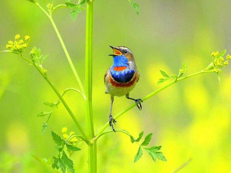природа, фотоохота, варакушка, птицы, животные, цветы, лето Полевые песни 2photo preview