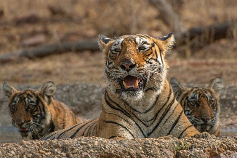 тигр   индия \