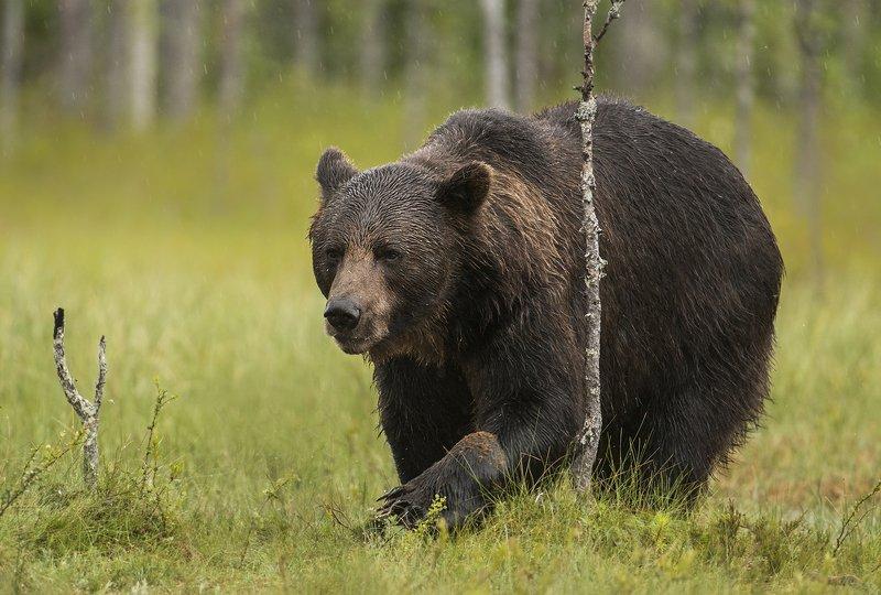 bear, brown, wild, wildlife, ursus, arctos, animals, animal, forest, Bearphoto preview