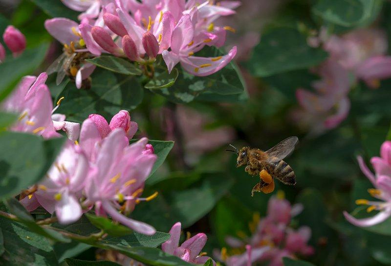 nature, природа, весна, цветы, пчела, насекомое, полет пчелкины заботыphoto preview