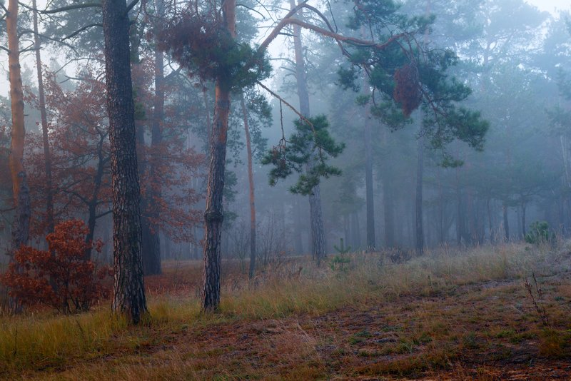 лес, осень, ноябрь, туман, белый Серый день раскрашенный туманомphoto preview