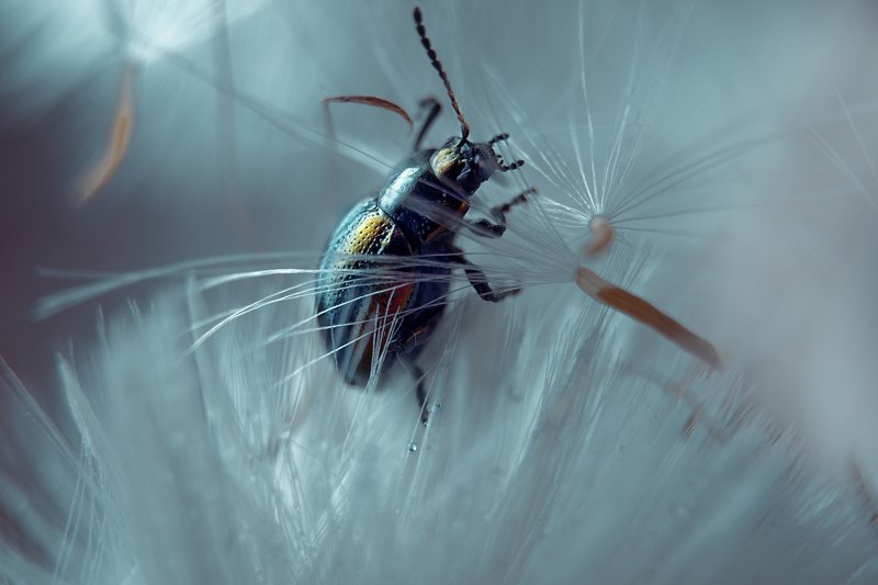 жук, макро, мать и мачеха, растение, природа, весна Выбор зонтикаphoto preview