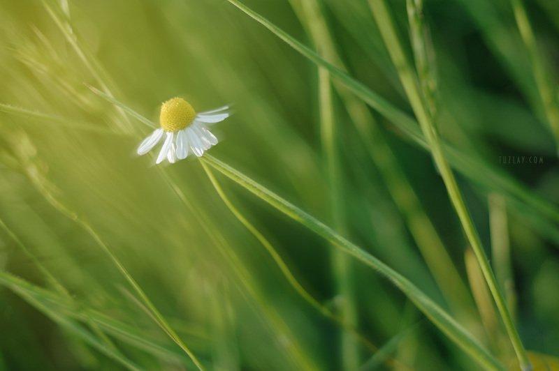ромашка, трава, флора Про ромашку в траве...photo preview