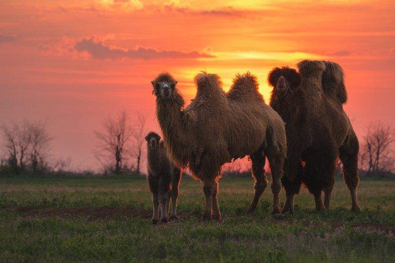 россия, калмыкия, природа, пейзаж, животные, верблюд, степь, закат, весна, фауна Семейное фотоphoto preview