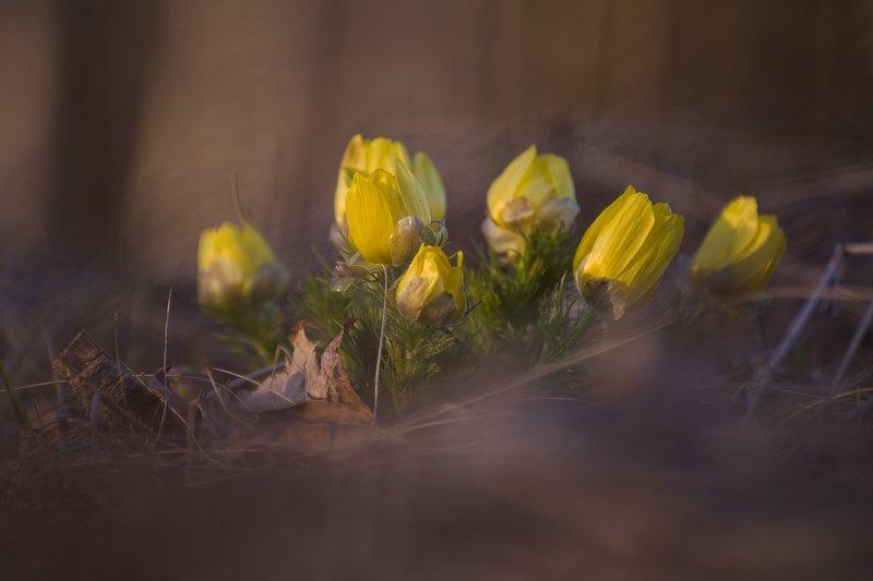 Макро, цветы, первоцвет, природа Огни весныphoto preview