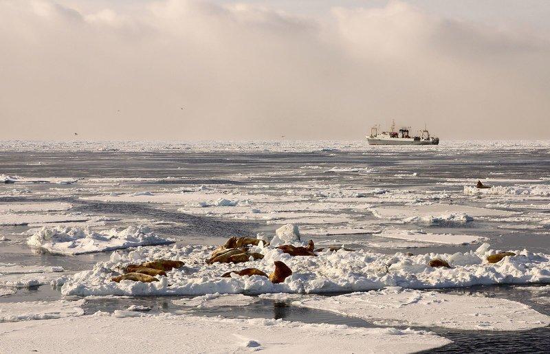 сивучи, зима, охотское море, лёд, судно, батм -улыбаемся!...но не машем..photo preview