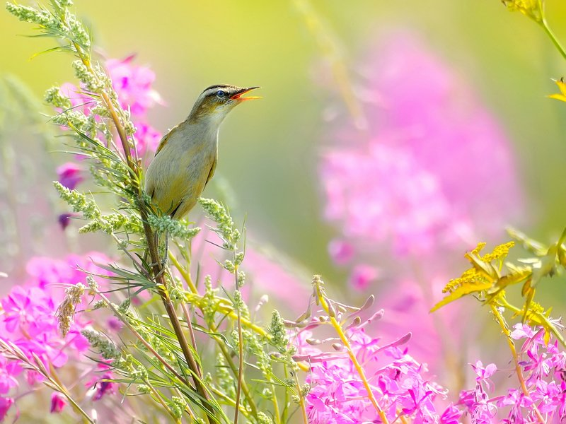 природа, фотоохота, камышевка, птицы, животные, цветы, лето Полевые песни 3photo preview