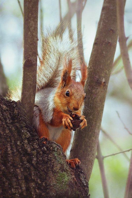 moment, момент, beautiful, красивый, nature, природа, wildlife, живая, manual lens, мануальная оптика,      юпитер 37-а, animal, животное, red, рыжая, squirrel, белка, nut, орех, gnaws, грызет, happy, счастливая, spring, весна, Счастье есть! ;)photo preview