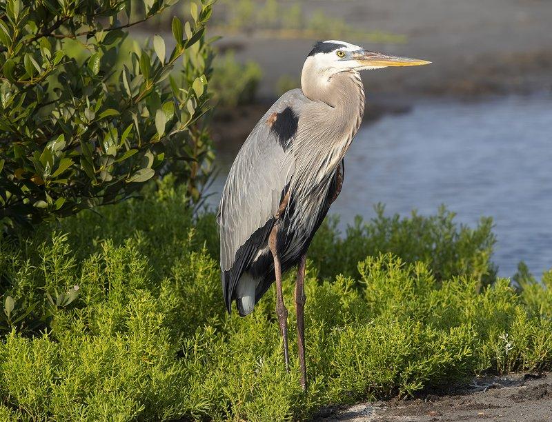 большая голубая цапля, great blue heron, heron, цапля, tx, texas Большая голубая цапля  - Great Blue Heronphoto preview