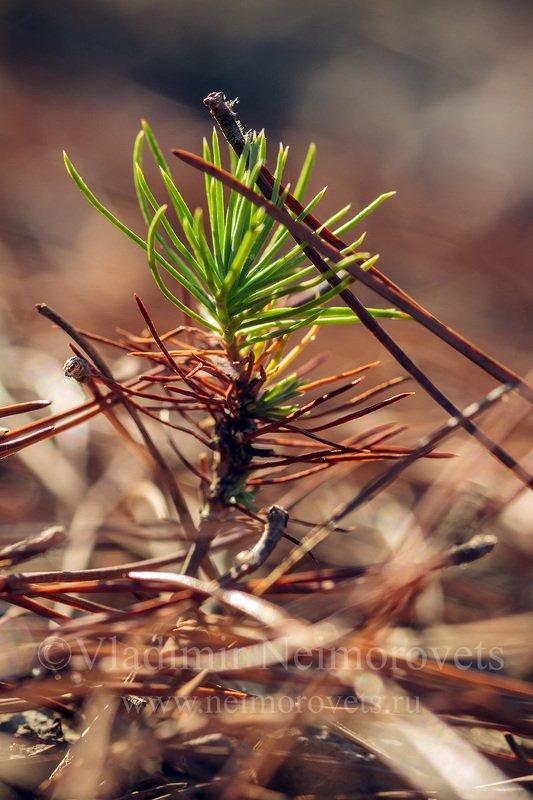 Northwestern Caucasus, Krasnodar Territory, pine needle, pine, needles, sapling, seedling, Pinus pityusa, endemic, Pitsundian pine The sapling of the Pitsundian pine (Pinus pityusa) // Росток пицундской сосны (Pinus pityusa)photo preview