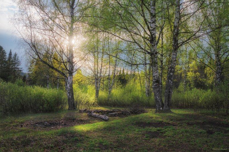 май, весна, березы, поляна, вечер Майские березкиphoto preview
