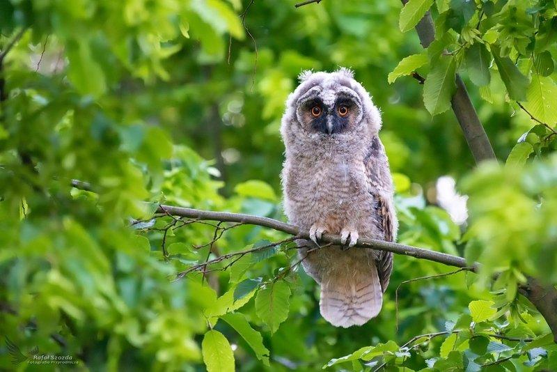 owl, birds, nature, animals, widlife, colors, spring, nikon, tree, forest, nikon, nikkor, lens, lubuskie, poland Młoda Uszatka, Long-eared Owl (Asio otus) ... 2019rphoto preview