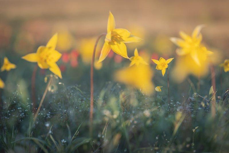 Жёлтые тюльпаныphoto preview