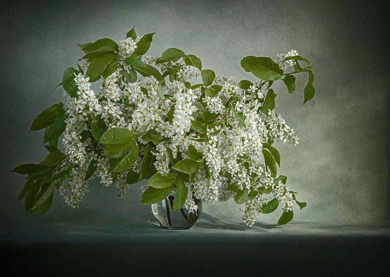весна, черемуха, букет Черемуха в цветуphoto preview