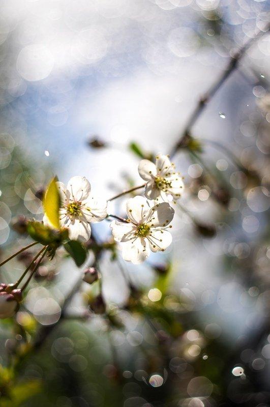 макро, цветы, боке Вишняphoto preview