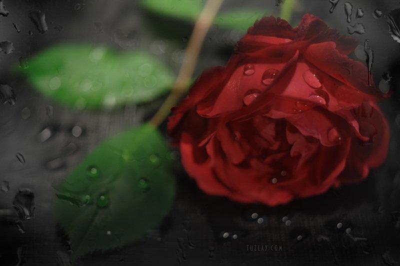 красная роза, майская роза, розы, капельки Про майскую розу и капелькиphoto preview