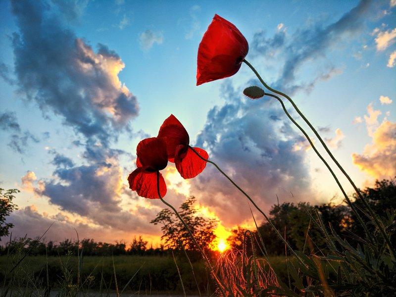 маки,пейзаж,закат,краски,красный,цвет,sunset Маковый закатphoto preview