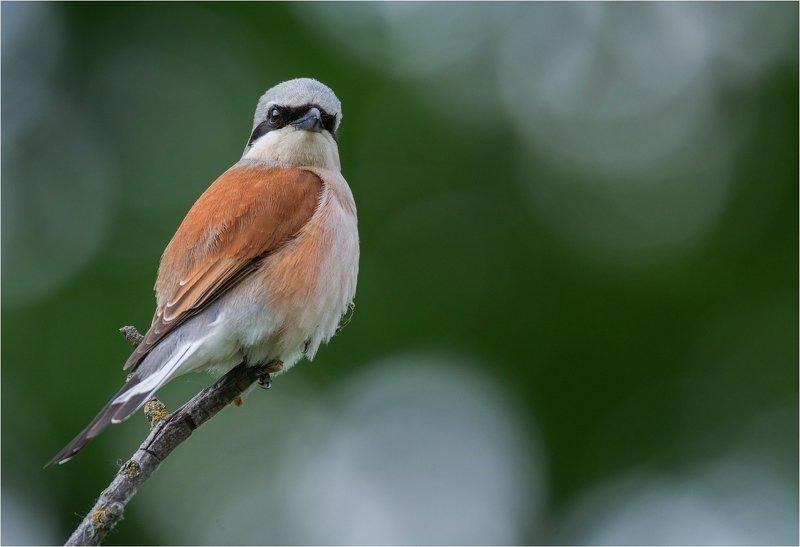 птица жсорокопут жулан весна Важныйphoto preview