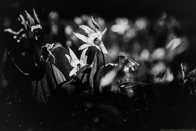 #банши #кандычийлог #кандышныйлог #бабочка #цветы #кандык #алтайскийкрай #алтай #весна #чб Баншиphoto preview