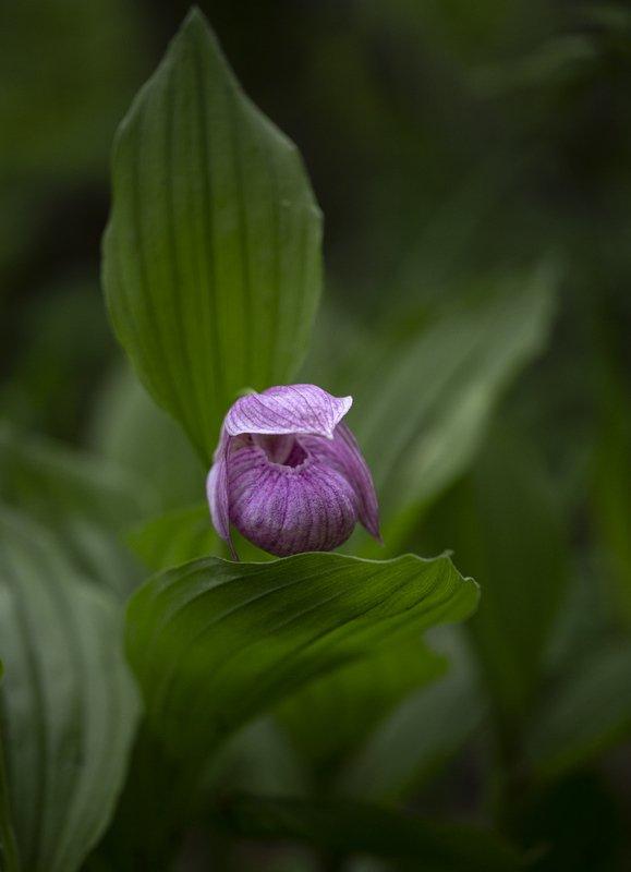 орхидея, башмачок, крупноцветковый, владивосток, остров, русский, лес, май В потаенном местеphoto preview