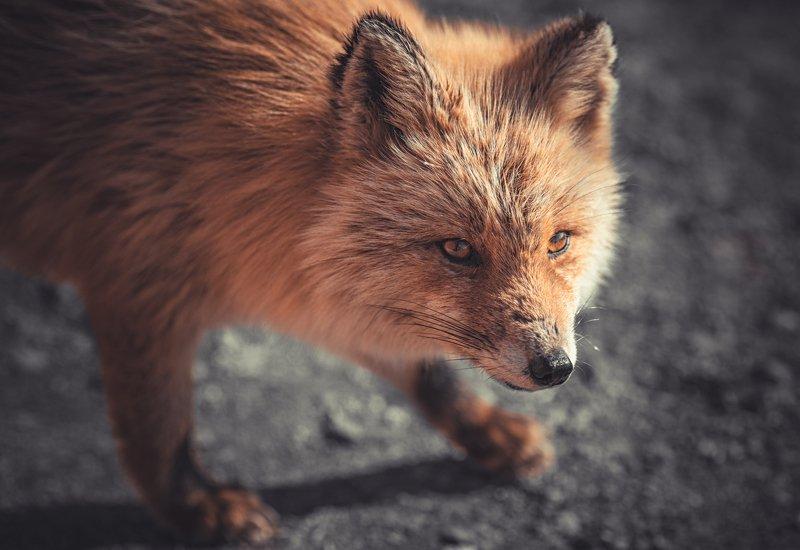 животные лисы Серьезный лисphoto preview