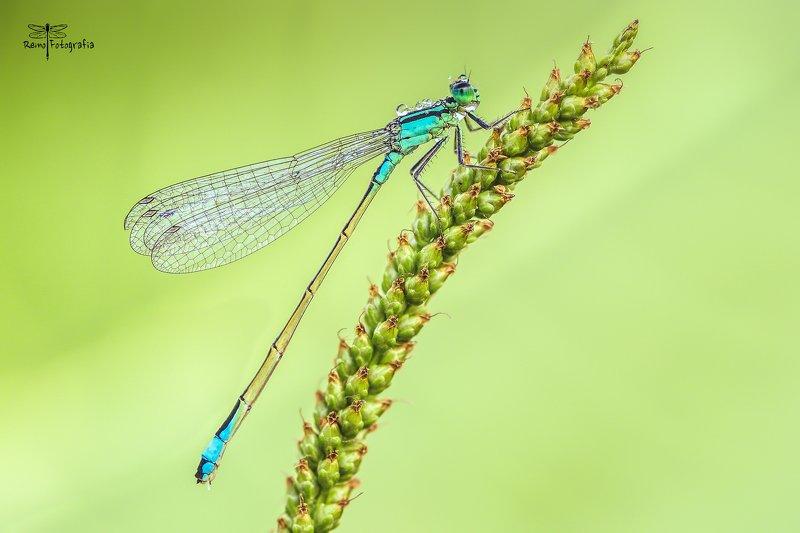 Ischnura elegans- Tężnica wytworna.photo preview
